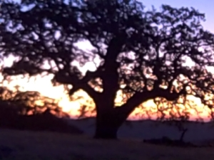 oak at sunrise 2